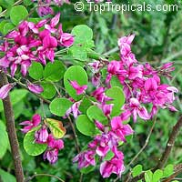 Lespedeza thunbergii - Bush Clover   Click to see full-size image