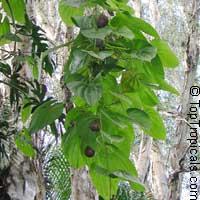 Dioscorea bulbifera, Cinnamon Vine, Chinese YamClick to see full-size image
