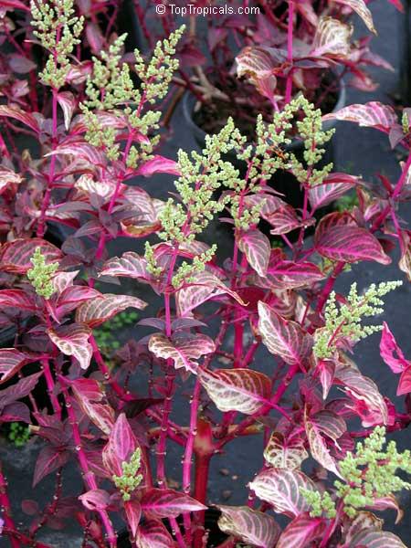 Iresine Sp Beefsteak Plant Chicken Gizzard Blood Leaf