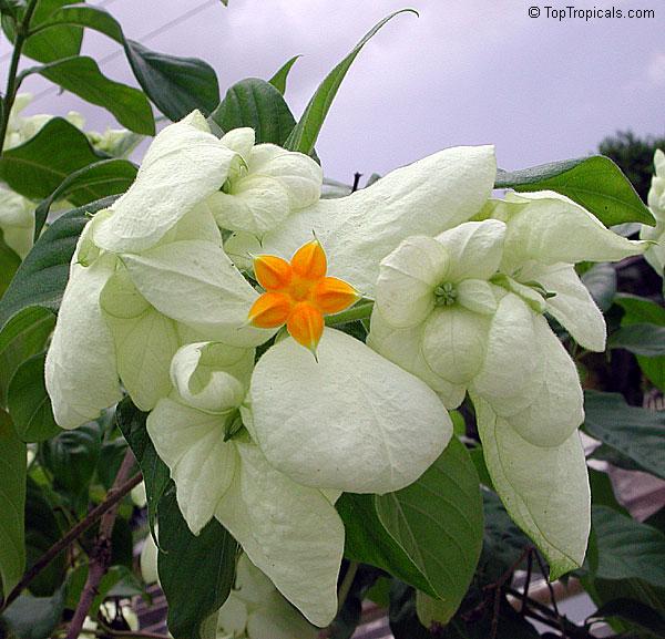 Mussaenda Philippica Dona Aurora Mussaenda Toptropicals Com