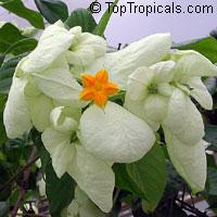 Mussaenda philippica Dona Aurora (white)  Click to see full-size image