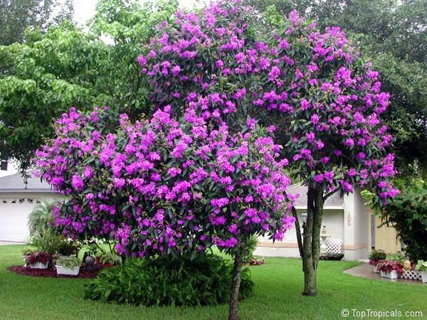 Tibouchina Granulosa Glory Tree Purple Spray Tree