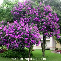 Tibouchina granulosa, Glory tree, Purple Spray Tree