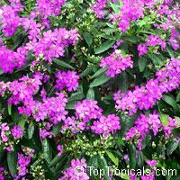 Tibouchina granulosa, Glory tree, Purple Spray Tree  Click to see full-size image
