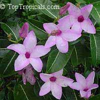 Cryptostegia grandiflora - Rubber vine  Click to see full-size image