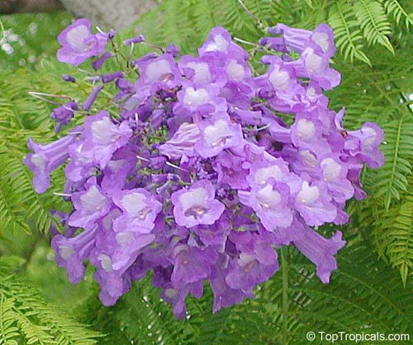 Scientific name Jacaranda  Jacaranda Tree Flower