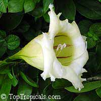 Solandra grandiflora - Cup of Gold, Chalice Vine  Click to see full-size image