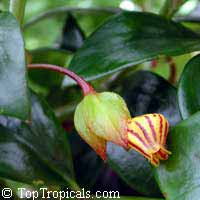 Nematanthus sp., Gold Fish, Guppy Plant