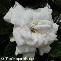 Gardenia Glazerii - grafted