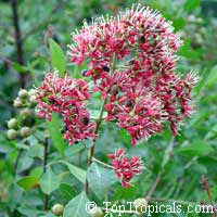 Lawsonia inermis - seeds  Click to see full-size image