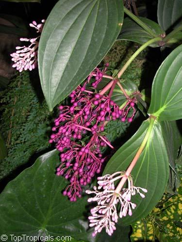 Medinilla cumingii chandelier tree showy melastome showy medinilla cumingii chandelier tree showy melastome showy medinilla malaysian orchid click to aloadofball Choice Image