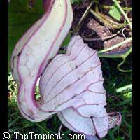 Aristolochia grandiflora, Aristolochia gigas, Calico Flower, Pelican Flower  Click to see full-size image