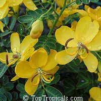 Senna bicapsularis, Cassia bicapsularis, Cassia sennoides, Butterfly Cassia, Butterfly Bush, Winter Cassia  Click to see full-size image