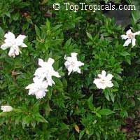 Gardenia radicans, Gardenia prostrata, Dwarf Gardenia Radicans  Click to see full-size image