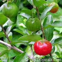 Malpighia glabra - Barbados-Cherry, Acerola - 3 gal pot