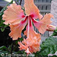 Hibiscus El Capitolio Tequila Sunrise, Hibiscus  Click to see full-size image