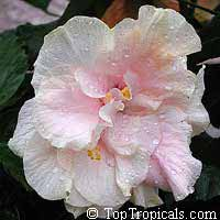Hibiscus Zephyr Marshmallow, Hibiscus  Click to see full-size image