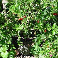Malpighia glabra, Barbados Cherry, Acerola, Malphigia, CerejeiraClick to see full-size image