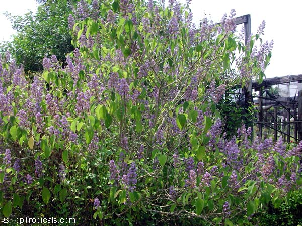 Cornutia Grandifolia Tropical Lilac African Lilac