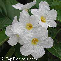 Cordia boissieri - wholesale seeds