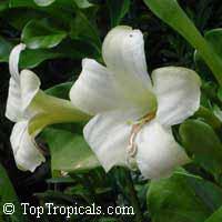 Fagraea ceilanica - Pua Keni KeniClick to see full-size image