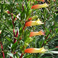 Cuphea melvilla, Cuphea micropetala, Candy Corn Plant  Click to see full-size image