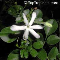Jasminum angulare, South African Jasmine  Click to see full-size image