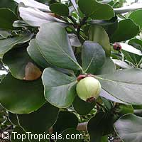 Clusia rosea, Copey, Balsam Apple, Pitch Apple, Autograph tree