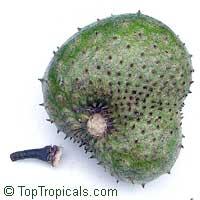 Annona muricata, Soursop, Guanabana, Graviola, Korosol, Corosol  Click to see full-size image