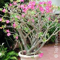 Adenium obesum, Desert Rose, Impala Lily  Click to see full-size image