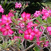 Adenium obesum, Desert Rose, Impala LilyClick to see full-size image