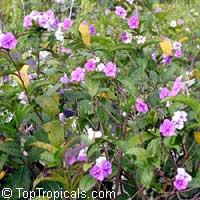 Brunfelsia pauciflora, Brunfelsia calycina, Brunfelsia eximia, Brazil Raintree, Yesterday-Today-TomorrowClick to see full-size image