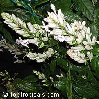 Whitfieldia elongata, Whitfieldia longiflora, Ruellia longifolia, White candles, Whitefieldia, Withfieldia, WhitefeldiaClick to see full-size image