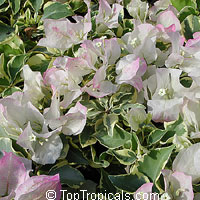 Bougainvillea Double Imperial Delight, Pinky-White variegated  Click to see full-size image