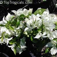Bougainvillea glabra Miss Alice, Bougainvillea  Click to see full-size image