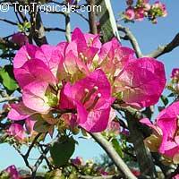 Bougainvillea spectabilis Twilight Delight, Bougainvillea  Click to see full-size image