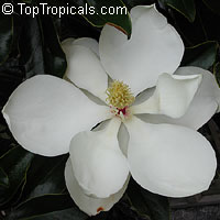 Magnolia grandiflora Little Gem - Southern magnolia   Click to see full-size image