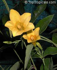 Gelsemium sempervirens, Yellow Jessamine, Carolina Jasmine, Yellow jessamine, Trumpet Flower