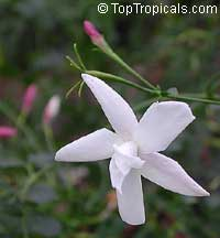 Jasminum officinale Flore Pleno - French Perfume Jasmine