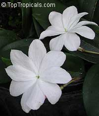 Jasminum Rex Ann Clemens  Click to see full-size image