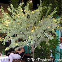 Senna polyphylla, Cassia biflora, Cassia microphylla,Cassia polyphylla, Cassia tenuissima, Peiranisia polyphylla, Desert Cassia  Click to see full-size image