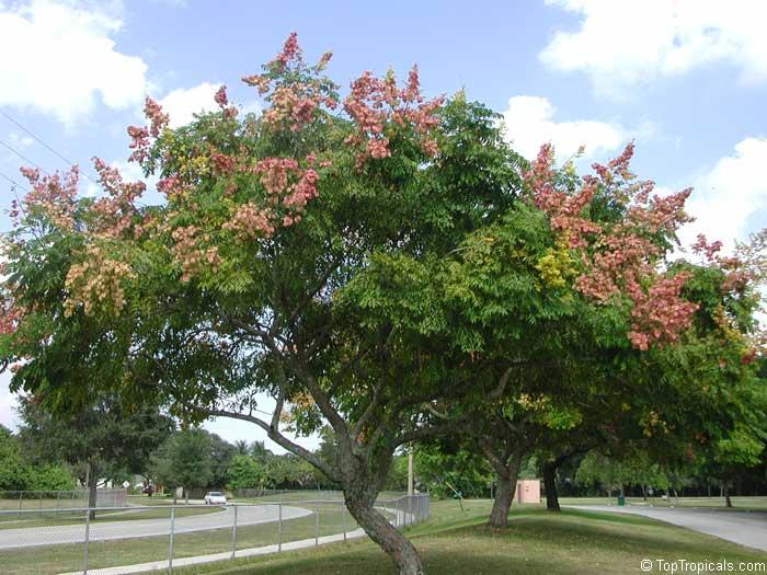 Koelreuteria Paniculata Golden Rain Tree Varnish Tree