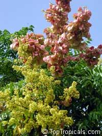 Koelreuteria paniculata (bipinnata) - Golden Rain TreeClick to see full-size image