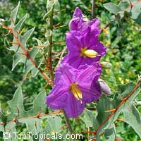 Solanum pyracanthum, Porcupine tomato  Click to see full-size image