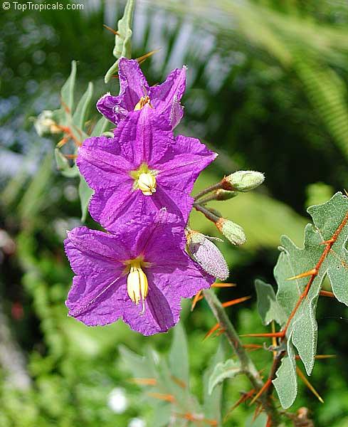 Solanum pyracanthum, P...