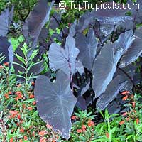 Colocasia esculenta Black Runner, Black calocasia, Black Magic, Taro, Black Elephant Ear, Malanga Amarillo, Dasheen