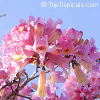 Tabebuia impetiginosa - Dwarf Pink Tabebuia  Click to see full-size image