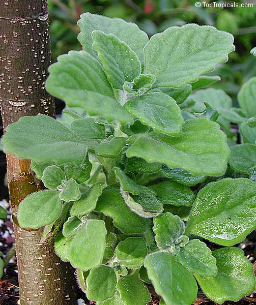 how to take care of holy basil plant