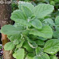 Plectranthus hadiensis var. tomentosus, Plectranthus tomentosus, Camphor Plant, Camphor Basil, Vicks Plant, Succulent Coleus  Click to see full-size image