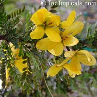 Senna polyphylla, Cassia biflora, Cassia microphylla,Cassia polyphylla, Cassia tenuissima, Peiranisia polyphylla, Desert Cassia  Click to see full-size image